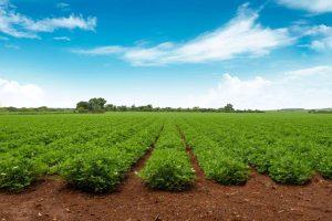 Plantação de amendoim (Foto: Shutterstock/Ricardo Ninin)